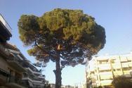 Πάτρα: Το δέντρο στην Αρόη φέρνει διακοπή της κυκλοφορίας αύριο