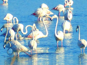 Οι τουρίστες φεύγουν, τα φλαμίνγκο έρχονται στο νησί της Λευκάδας (pics)