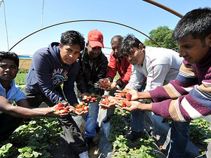 Guardian: Οι αφηγήσεις μεταναστών για τις «ματωμένες» φράουλες που σοκάρουν (pics)