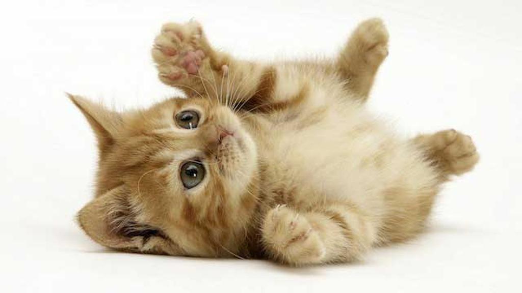 93d08f8b0657 Το νεογέννητο γατάκι απογαλακτίζεται από τη μητέρα του γύρω στις 8  εβδομάδες