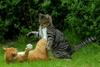 Απίστευτο - Γάτες τσακώνονται και τις χωρίζουν... σκύλοι (video)