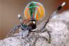 Μια ασυνήθιστη πανέμορφη αράχνη από την Αυστραλία (pics+vids)