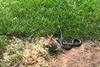 Κουνέλα επιτίθεται σε φίδι για να προστατεύσει τα μικρά της (video)