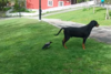 Όταν το κοράκι έχει κέφια (video)