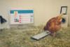 Betty: Το πρώτο κοτόπουλο με... Twitter (pics+vids)