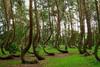 Το «στραβό» δάσος της Πολωνίας (pics)