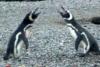 Συγκλονιστικό βίντεο: Πιγκουίνος γυρνά στη φωλιά, βρίσκει την γυναίκα του με… άλλον και χύνεται αίμα!