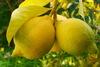 Διατηρήστε φρέσκα τα λεμόνια για τρεις μήνες