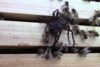 Σμήνος από μέλισσες επιτίθεται σε αράχνη (video)