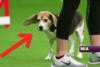 Αφηρημένο Beagle κλέβει την παράσταση σε διαγωνισμό σκύλων (video)