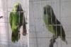 Παπαγάλος τραγουδάει... Rihanna (video)