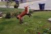 Αλεπού παίζει με παιχνίδι… σκύλου (video)