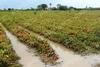 """Λεχαινά: """"Πνίγηκαν"""" οι καλλιέργειες (pics)"""