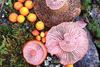 Φωτογραφίζοντας πολύχρωμα μανιτάρια (pics)