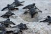 Χελωνάκια παίρνουν τον δρόμο προς τη θάλασσα! (video)