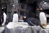 Καναδάς: Δεν έκαναν... ρεβεγιόν ούτε οι βασιλικοί πιγκουίνοι