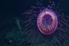 Σπάνια μέδουσα που θυμίζει… πυροτέχνημα (video)