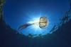 Κορινθιακός κόλπος - Ειδικά δίχτυα ζητούν οι επιχειρηματίες για την απομάκρυνση των μεδουσών