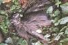 Πάτρα: Εντοπίστηκε νεκρό γεράκι buteo στο δάσος του ρέματος Ρωμανού (φωτο)
