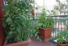 Πάτρα - Καλλιεργούν λαχανικά στα μπαλκόνια...