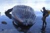 Ταϊλάνδη - Φάλαινα πιλότος πέθανε, αφού κατάπιε 80 πλαστικές σακούλες