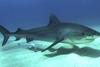 Καρχαρίας κατασπάραξε Τσέχο τουρίστα