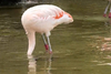 Φλαμίνγκο ψάχνει για την τροφή του… χορεύοντας! (video)