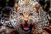 Λεοπάρδαλη σκότωσε αγοράκι δύο ετών στη Νότια Αφρική