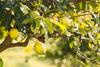 Αιτωλοακαρνανία - 43χρονος έκλεψε λεμόνια από αγρόκτημα