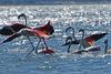 Σμήνος με 50 πανέμορφα φλαμίνγκο προσγειώθηκαν στο Ναύπλιο (pics+video)