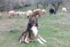 Κλειτορία: Πυροβόλησε και τραυμάτισε τσοπανόσκυλο