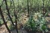 Φθιώτιδα - Εντοπίστηκε τεράστια χασισοφυτεία σε δύσβατη περιοχή