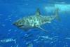 Καρχαρίας επιτέθηκε σε δύο τουρίστες στην Αυστραλία