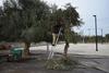 Πάτρα: Συγκομιδή ελαιοκάρπου από τα ελαιόδεντρα του Δήμου