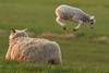 Ουαλία: Πρόβατα κάνουν γύρω-γύρω όλοι σε παιδική χαρά (video)