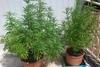 Αγρίνιο: Καλλιεργούσε δενδρύλλια κάνναβης σε γλάστρες