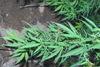 Αγρίνιο: Kαλλιεργούσε άρια δενδρύλλια κάνναβης σε αγρόκτημα