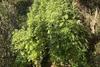 Αχαΐα: Χασισοφυτεία με 710 δενδρύλλια εντοπίστηκε σε χωριό των Καλαβρύτων