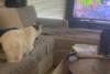 Γάτα ορμάει στην τηλεόραση για να πιάσει πουλιά που βλέπει στην οθόνη (video)