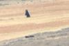Αγέλη λύκων τα βάζει με αρκούδα γκρίζλι