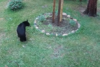 Μικροσκοπικός σκύλος έκανε αρκούδα να σκαρφαλώσει πανικόβλητη σε δέντρο (video)