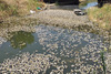 Δυτική Ελλάδα: Χιλιάδες νεκρά ψάρια στη διώρυγα Κλεοπάτρας