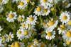 Πέψη - Ποια είναι τα βότανα που την ενισχύουν;