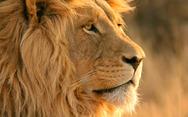 Η απίστευτη μονομαχία ανάμεσα σε λιοντάρι και γκνου (pics)