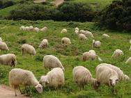 Τόσα πρόβατα δεν έχετε ξαναδεί σίγουρα (video)