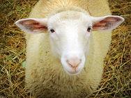 Φοιτητής πιάστηκε στα πράσα να κακοποιεί σεξουαλικά... ένα πρόβατο! (pic)