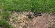 Κουνέλι επιτίθεται σε φίδι για να προστατέψει τα μικρά του (video)