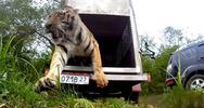 Η απελευθέρωση μιας τίγρης (pics+video)