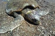 Κάτω Αλισσός: Βρέθηκε νεκρή θαλάσσια χελώνα