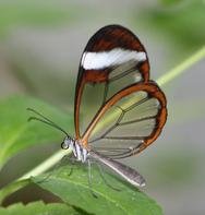 Εντυπωσιακές πεταλούδες με διάφανα... φτερά! (pics+video)